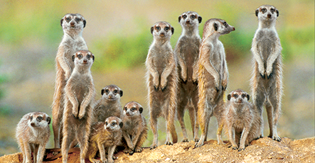 Suricate - adults with young on the lookout at the edge of their burrow